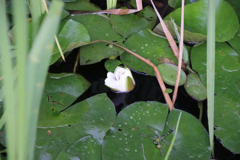 Dragon Fly and Lily flower lower pond 2016