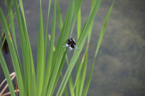 Dragon fly upper pond 2016