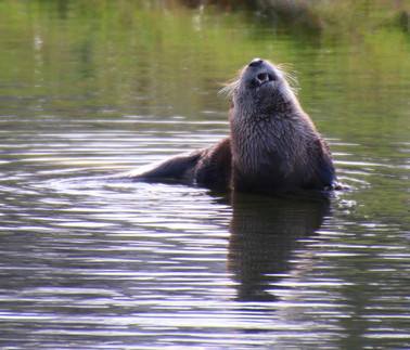 Otter New Years Day 2016 upper pond