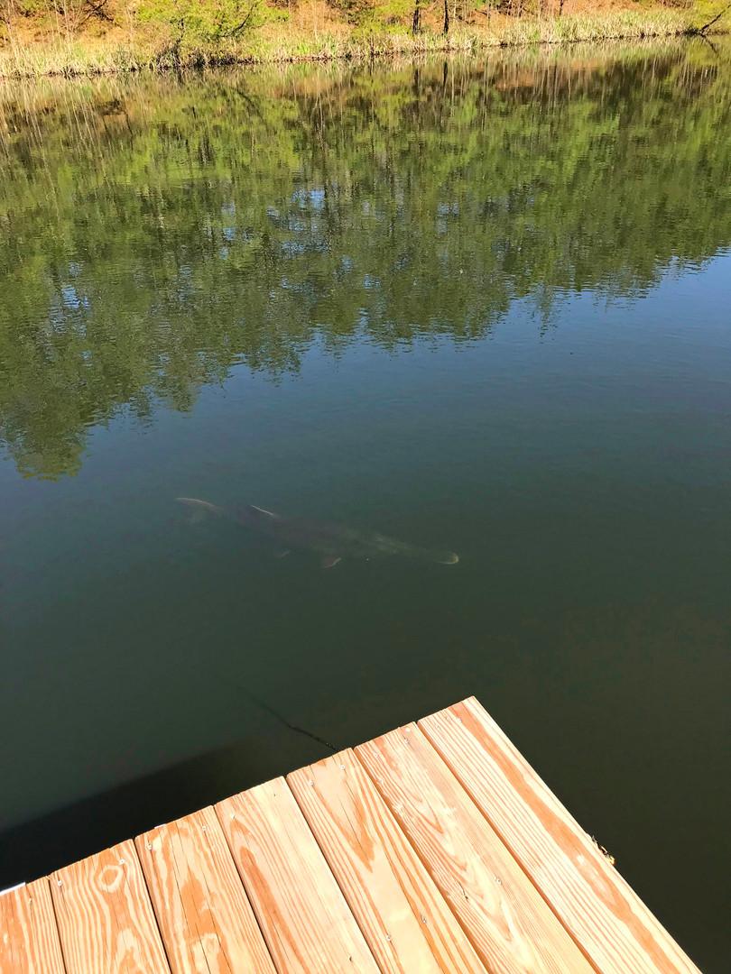 Paddle fish lower pond 2017