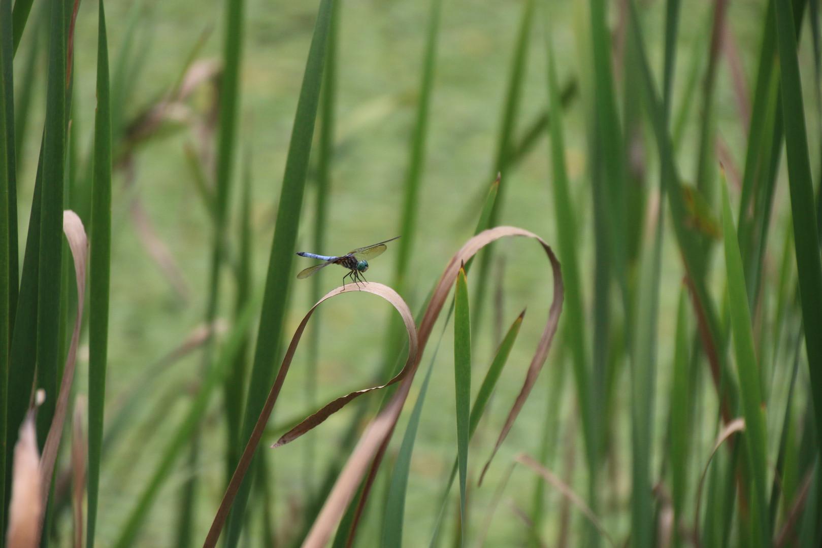 Dragon fly lower pond 2016