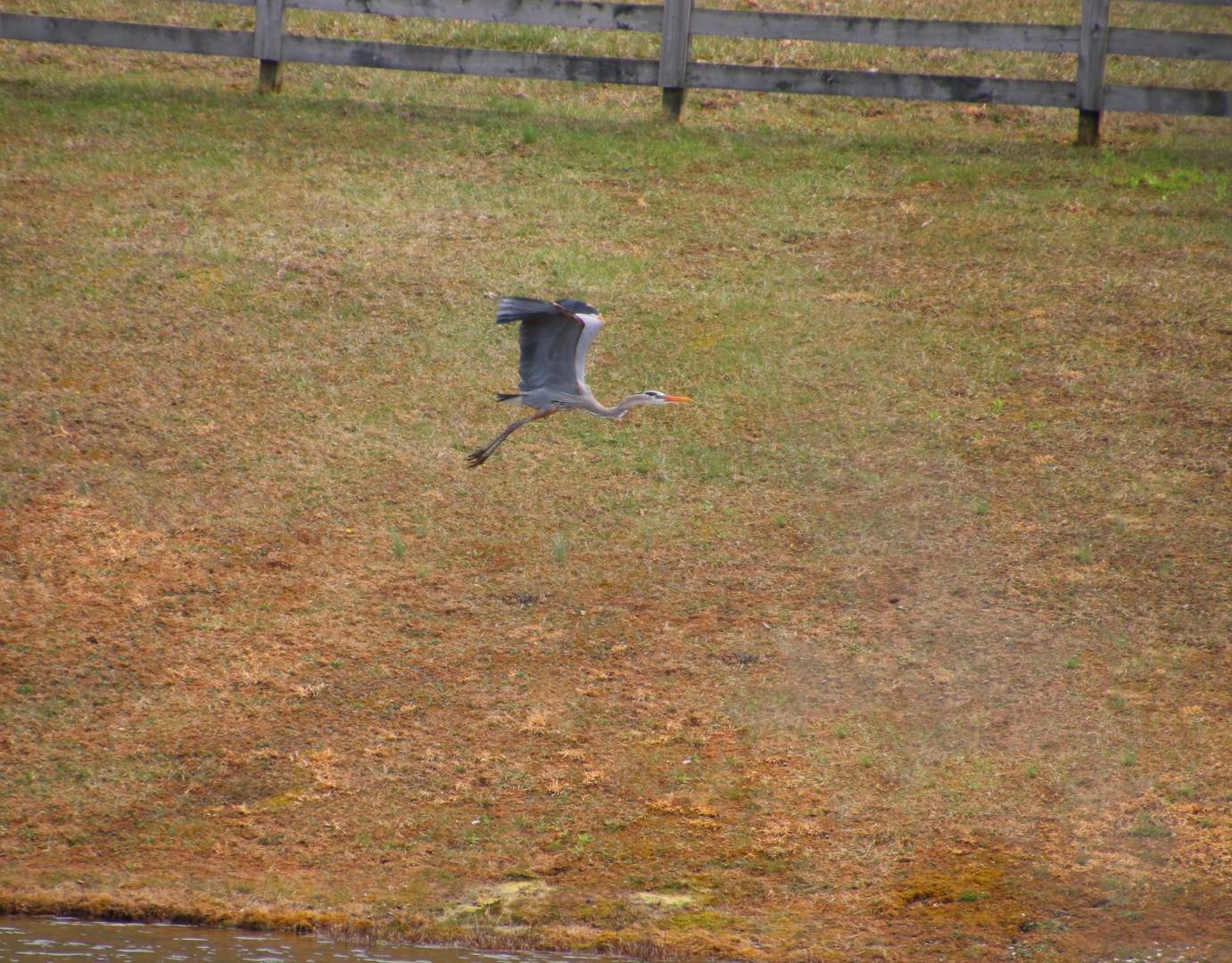 Blue Heron upper pond 2018