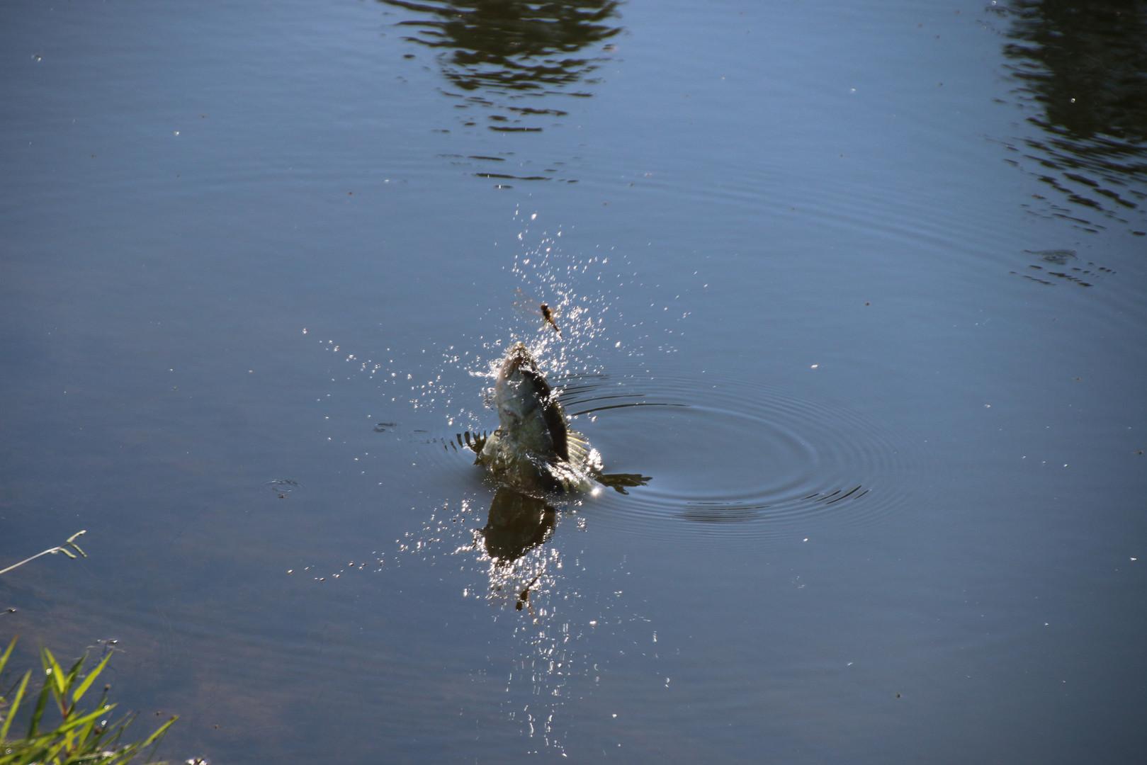 Bass misses dragon fly upper pond 2017