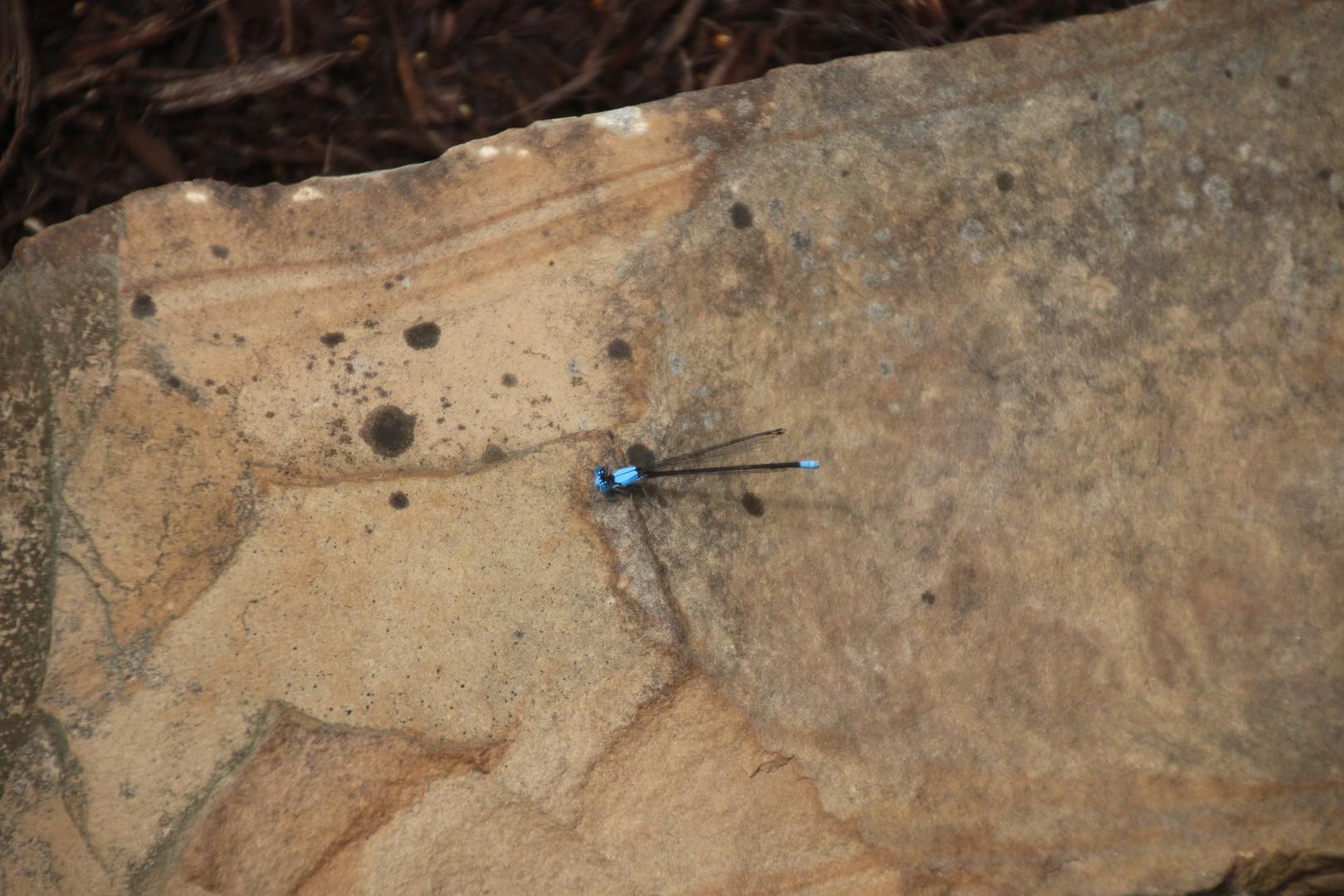 Dragon fly garden rock 2016