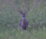 deer front field stare.jpg