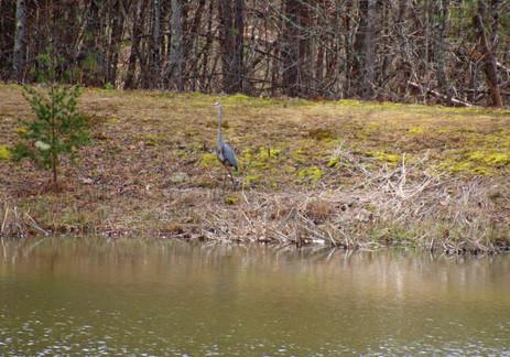 Blue Heron lower pond 2018
