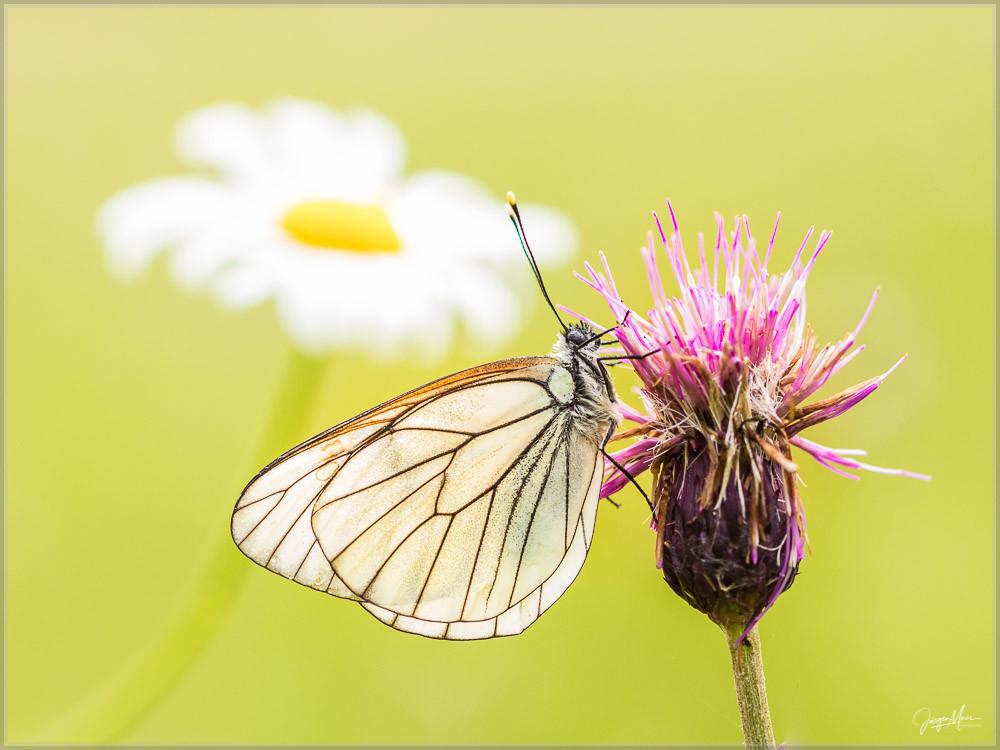 Baumweißling, Flockenblume, Schmetterling, Allgäu