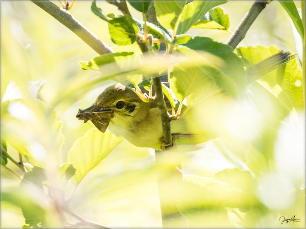 Vogel, Gartengrasmücke, wildlife
