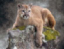 cougar150.jpg