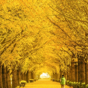 Le ginkgo biloba : un arbre somptueux et indestructible !