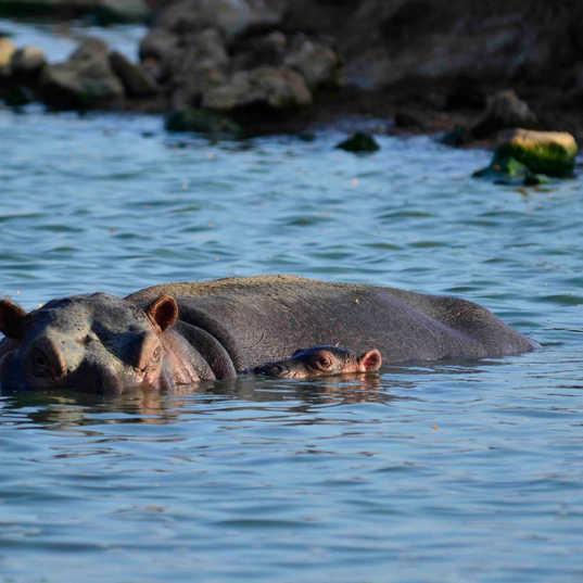 Satao Camp - Hippos