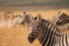 Zebra's in Maasai Mara