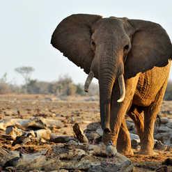 Elephant Satao.jpg