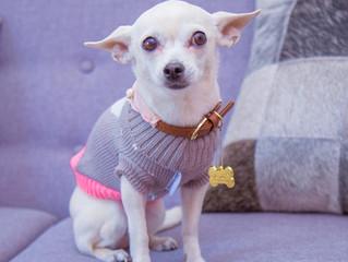 Chihuahua, la raza de perro más carismático