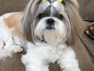 Shih Tzu,  un perrito de corazón noble.