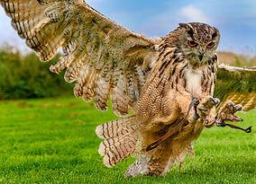 Owl hunt.jpg
