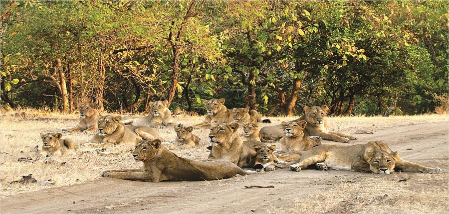 Geer Lions