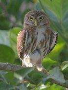 pygmy for birding.jpg