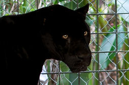 Lucky Boy Black Jaguar