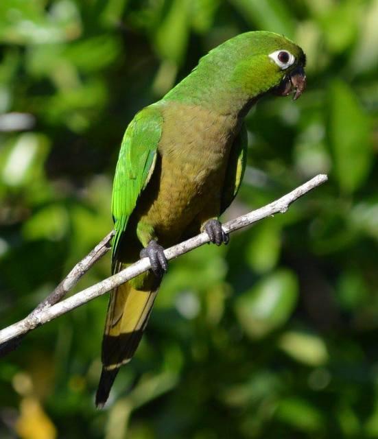Olive throated parakeet