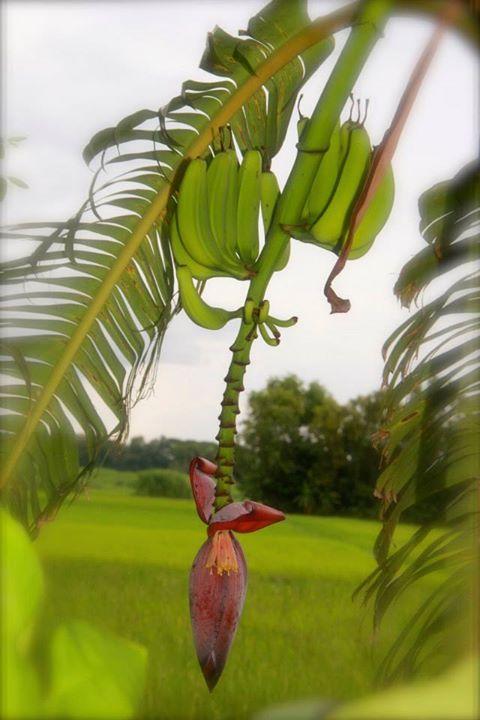 fresh banana .jpg.jpg