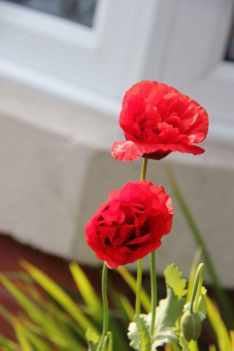 popi flower