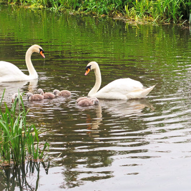 Our local swans, Sidney and Nancy