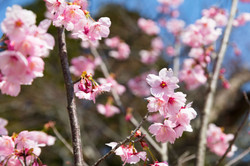 Cherry Blossom Season (Sakura)