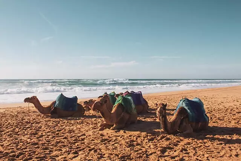 Camels in the beach laying down