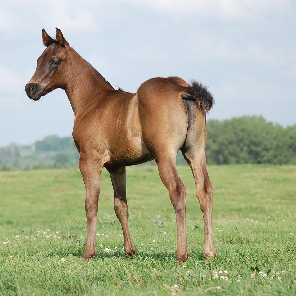 CA Dibny, Blue Roan Stallion