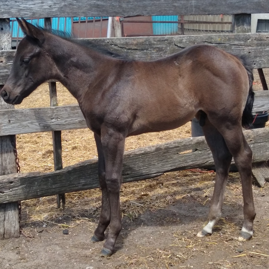 Blue Roan Stallion out of LJSR Dusty Shine and by RC Calcetas