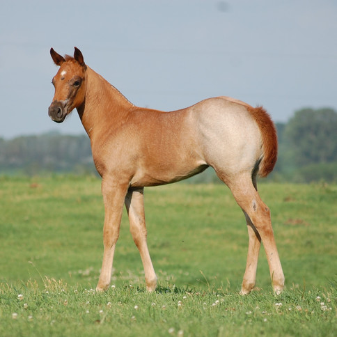 CA Cupid, Red Roan Filly