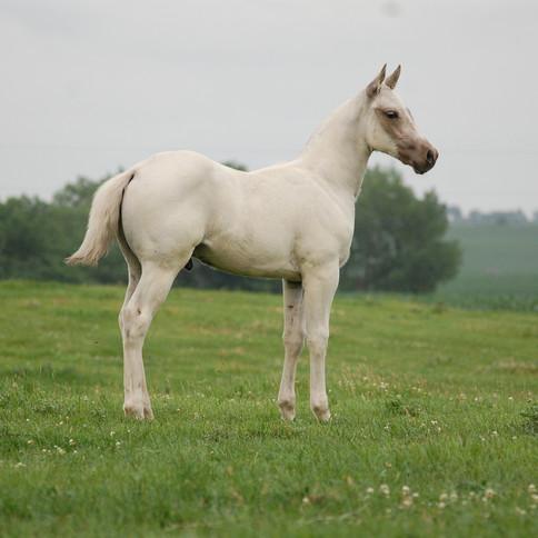 CA Harry Wells, Palomino Stallion