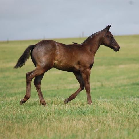 CA Joe West, Blue Roan Stallion