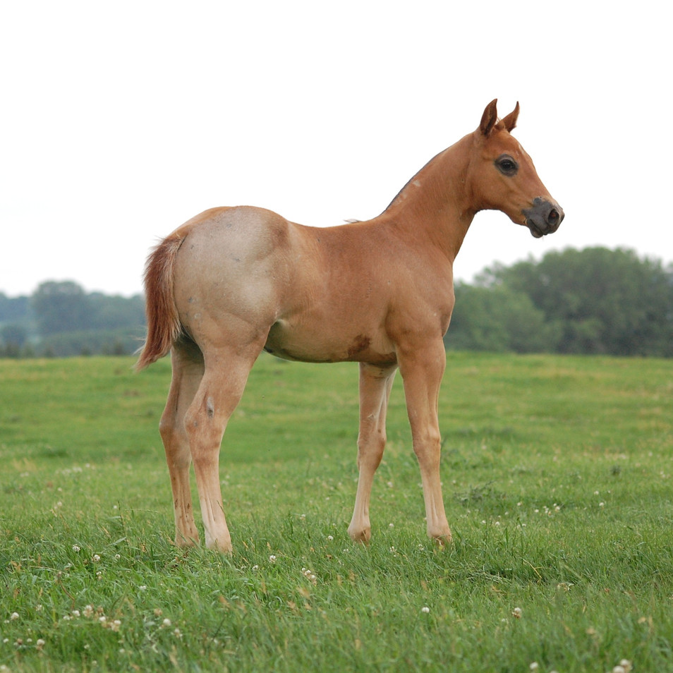 CA Flash Red Roan Stallion by Sweet San Dually