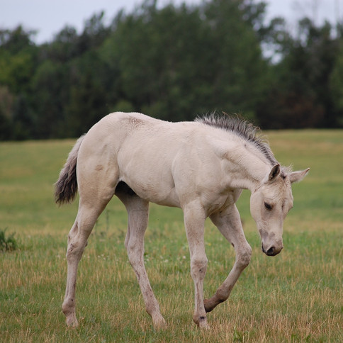 CA Nash, Buckskin Stallion