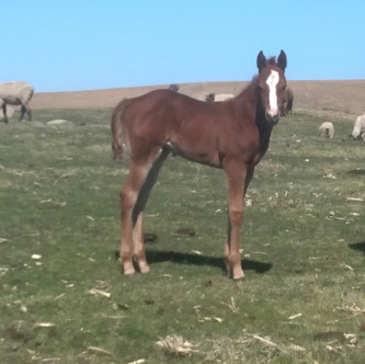Sorrel filly out of CA Vixie and by RC Calcetas
