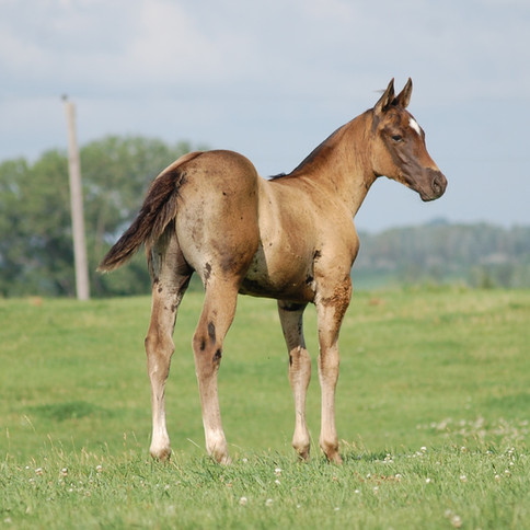 CA Smoak, Brown Stallion