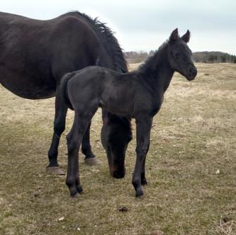 Blue Roan Stallion