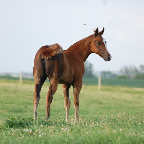 CA Thea, Chestnut Filly