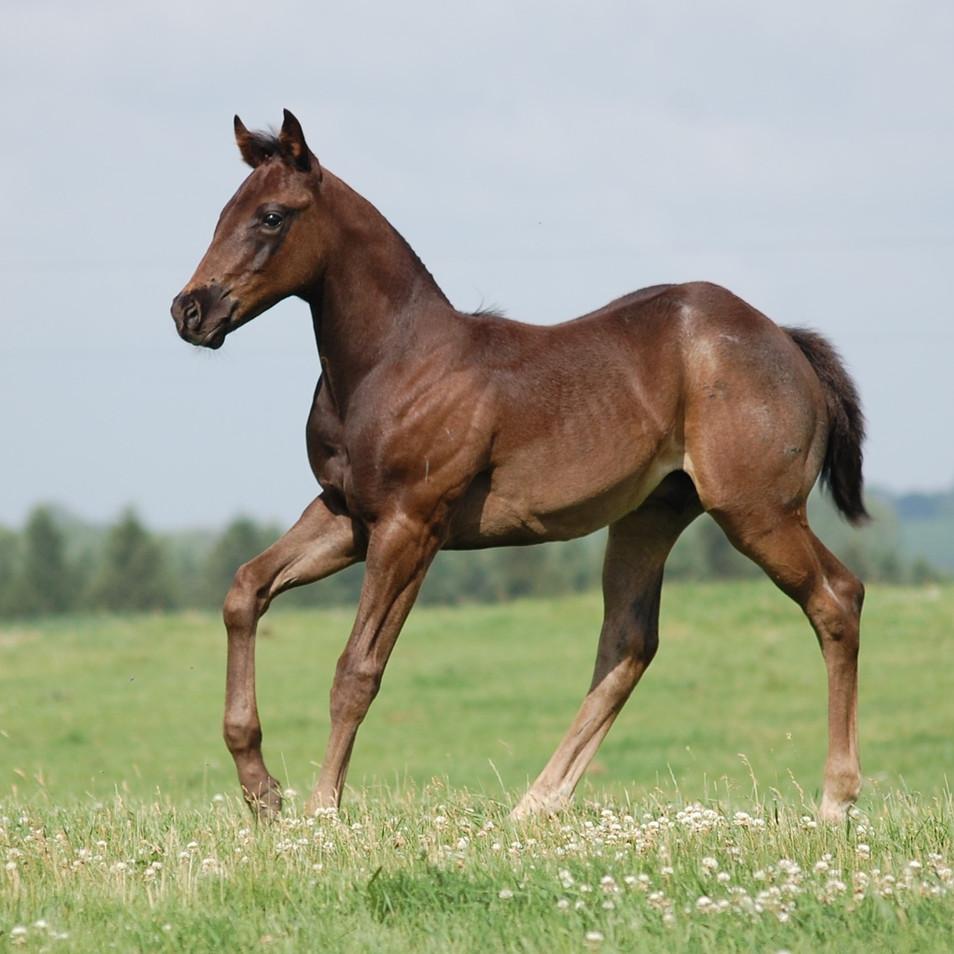 CA Damien Dark, Blue Roan Stallion
