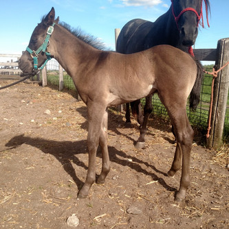 Black/Blue Roan/Grulla Stallion out of Spicey Hott and by RC Calcetas