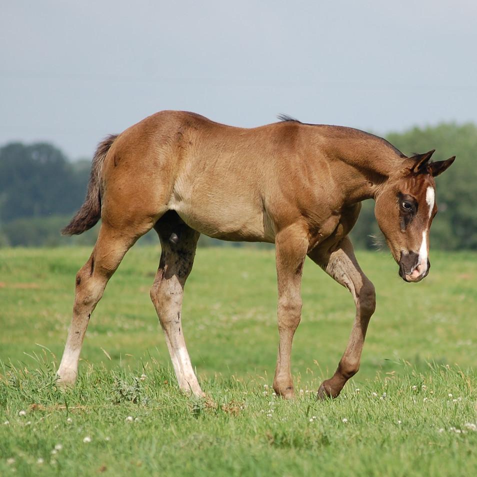 CA Vibe, Black Stallion