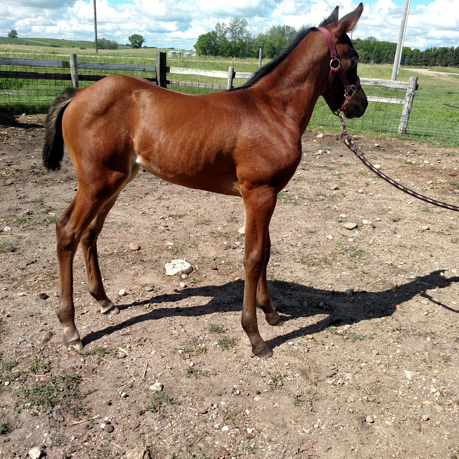 Bay Roan Filly out of LLE Justlikesangria by RC Calcetas