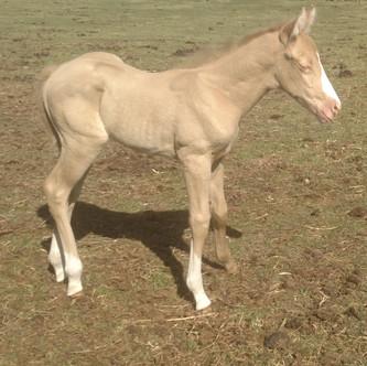 Perlino stallion