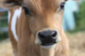 Three week old Jersey bull calf..jpg