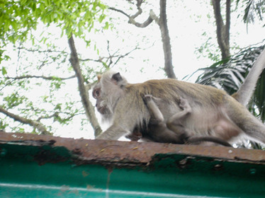 0415 Monkeys in Lake Gardens (1)