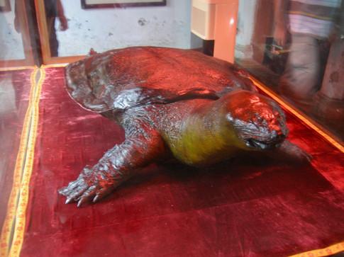 0417 Giant Turtle, Den Ngoc Son Temple