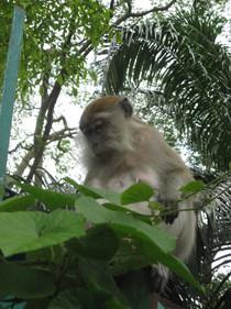 0415 Monkeys in Lake Gardens