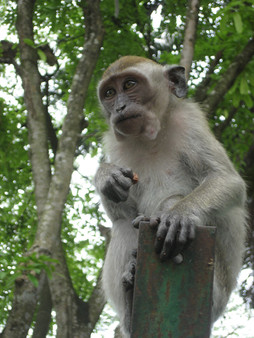 0415 Monkeys in Lake Gardens (3)